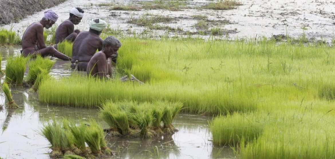 CO2 threat to rice fields. Copyright: catherinelprod / 123RF Stock Photo