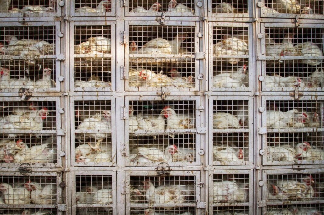 Poultry farms breeding an antibiotic resistance crisis