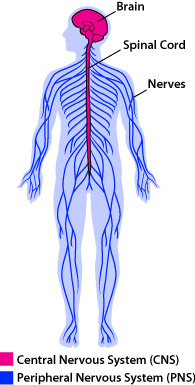 spine and nervous system