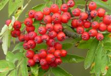 Benefits of Rowan Berries