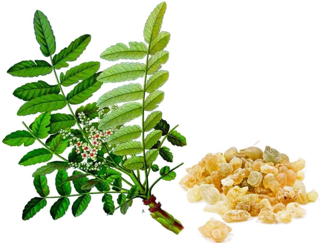 Boswellia Serrata benefits