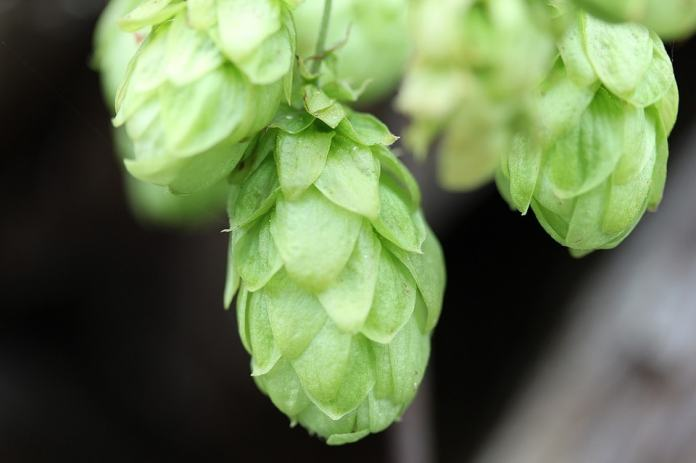 Common hops benefits (Humulus Lupulus)