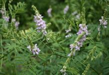 Goat's Rue Benefits
