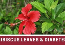 Hibiscus flower help cure diabetes