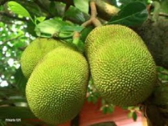 Jackfruit health benefits kathal