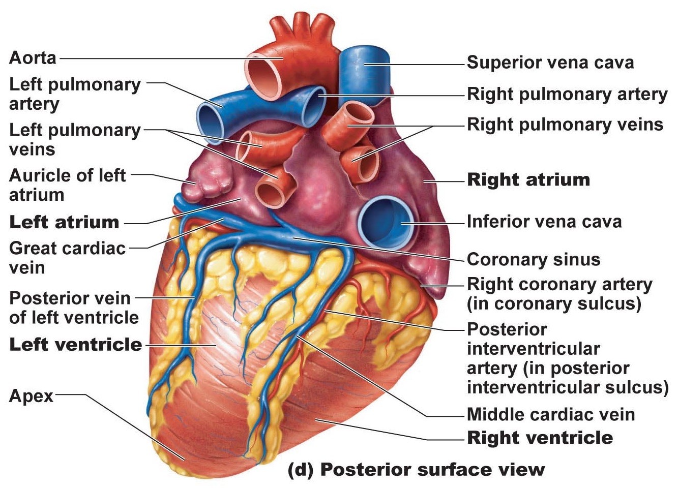 Structure And Function Of Human Heart
