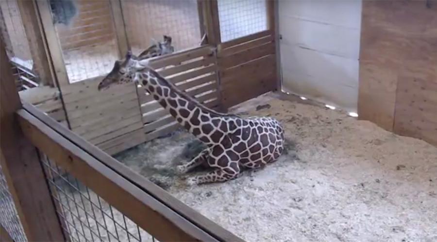 Giraffe birth video raises $150,000 plus viral attention