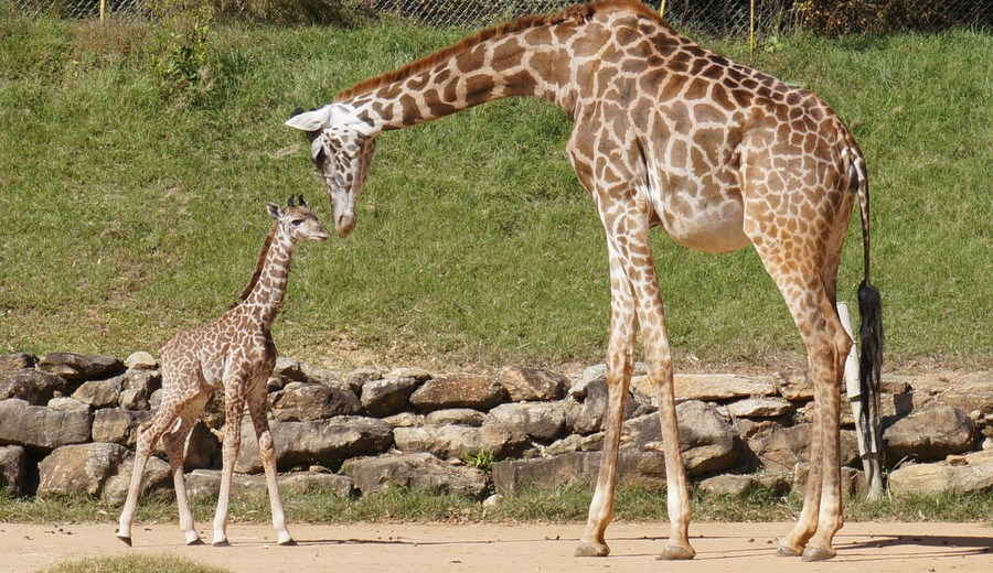 Giraffe Calf Makes First Public Appearance at Dallas Zoo