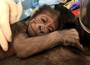 Special Gorilla Birth at the Philadelphia Zoo