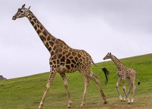 Maryland Zoo Mourns the Untimely Death of Julius the Giraffe Calf