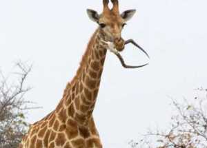 Giraffes Eating Skeletons Explained