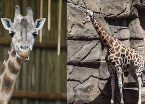 Sabrena, Lincoln Park Zoo's Giraffe Has Died