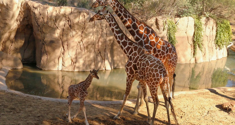 Giraffe Dies Unexpectedly At The Zoo