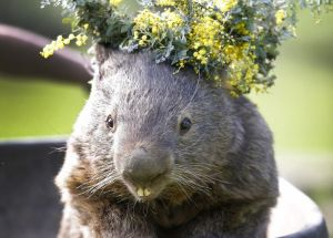 The Story Of The Oldest And Cutest Wombat Ever Held In Captivity