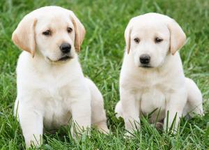 A Bacterial Disease Outbreak to be Spread by Pet-Store Puppies