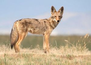 What Happened To The Man That Was Bitten  By A Rabid Coyote