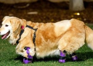 Quadruple-Amputee Golden Retriever – The Therapy Dog That Took the Internet by Storm