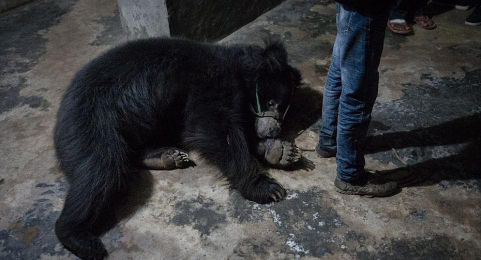 Mistreated Dancing Bears Finally Rescued From Nepal
