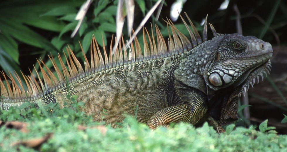It's Raining Iguanas in Florida. And They're Probably Alive!