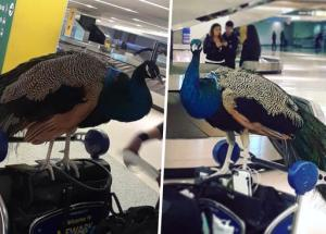 United Airlines Refused A Woman To Travel With Her Emotional Support Peacock