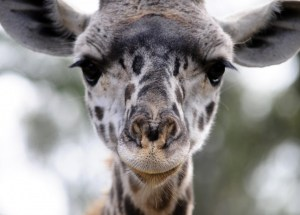 Baby Giraffe Born at Peoria Zoo, Illinois, As Tall As Average White Male In US