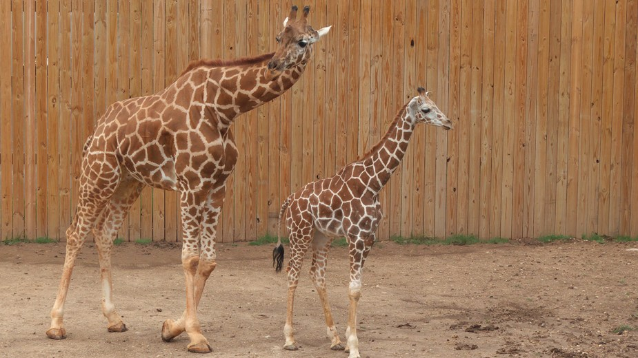 The Youngest Giraffe at the Abilene Zoo Receives a Name