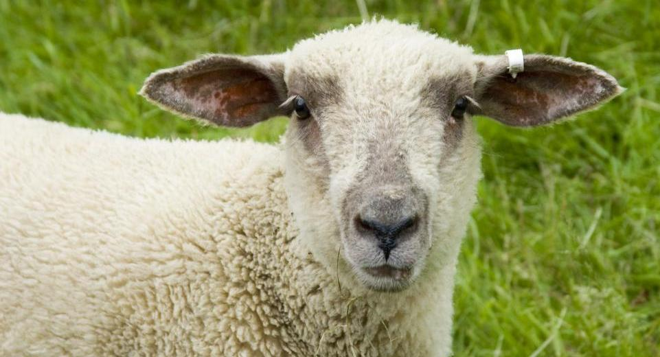 Human-Sheep Hybrids: An Alternative to Human Organ Transplants And Could Even Cure Diabetes