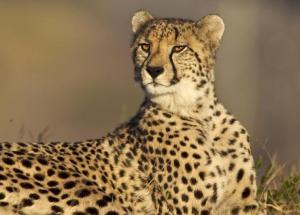 Zookeeper Suffers Cheetah Attack