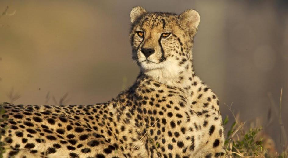 SALE Cheetah Ears