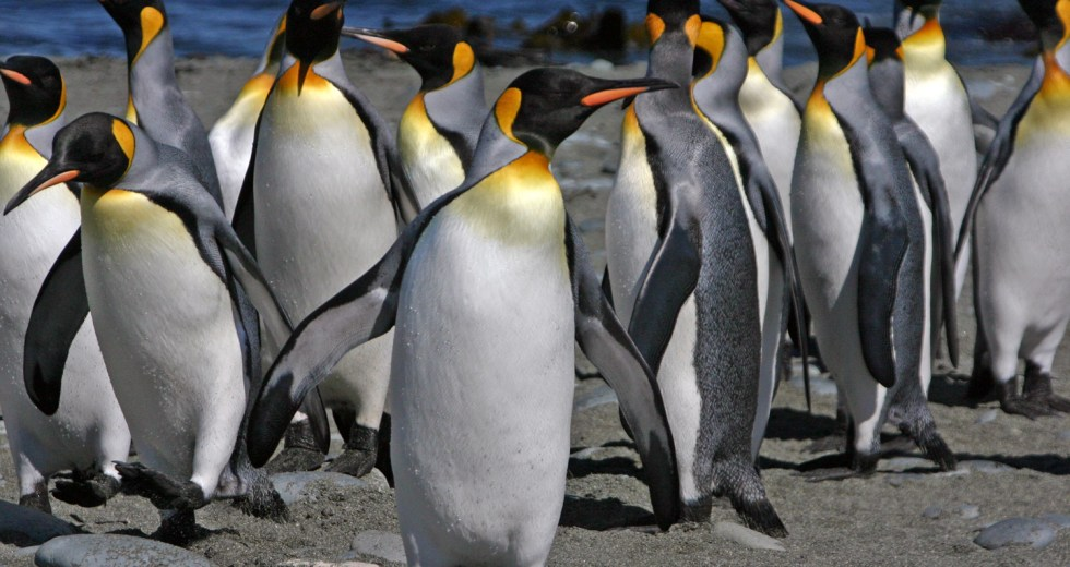 King Penguins May Extinct Due To Climate Change