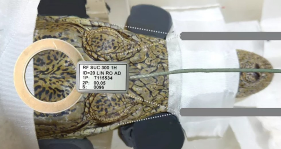 A Crocodile Was Put In An MRI Scanner And Exposed To Classical Music To Help Scientists Understand The Mammalian Nervous Systems Evolution