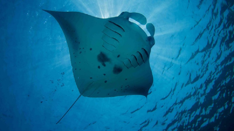 World's First Known Baby Manta Rays Nursery Discovered By Scientists