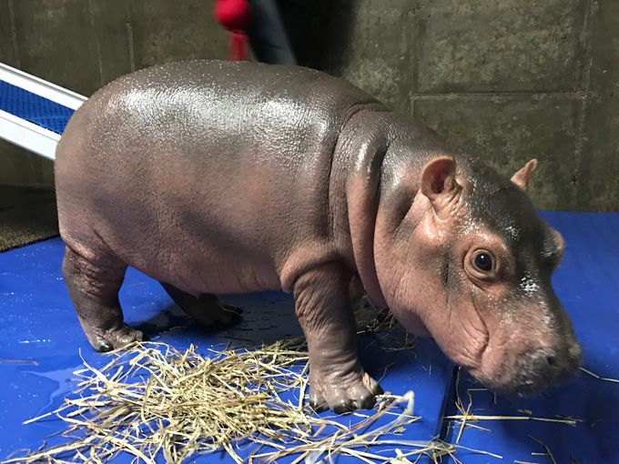 """""""Saving Fiona"""", The Book That Tells The Story Of The Cincinnati's Most Loved Baby Hippopotamus"""