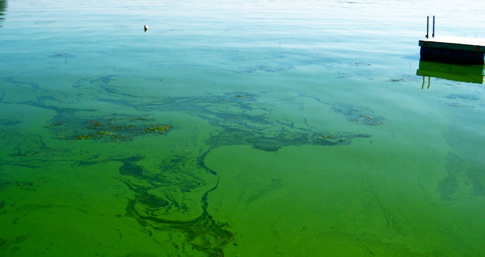 The Water Where Blue-Green Algae Grow is Reportedly Dangerous