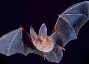 Bat Caught At Belwood Lake, Ontario, Tests Positive For Rabies