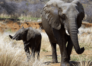 Suspected Poacher Faces Elephants' Wrath by Getting Trampled to Death