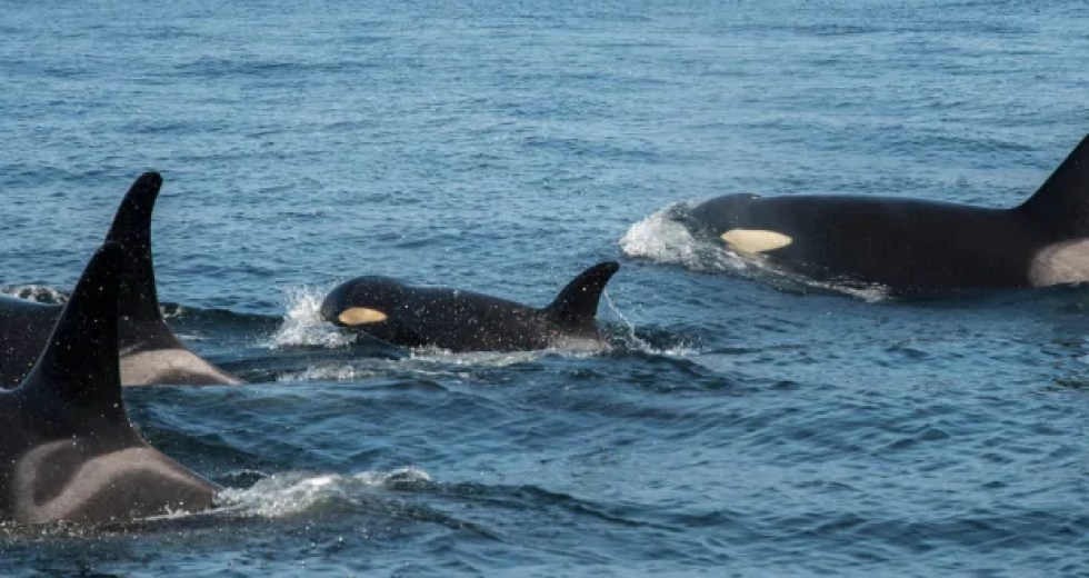 A Young Orca is Struggling to Swim with Her Family, and Biologists Got Worried