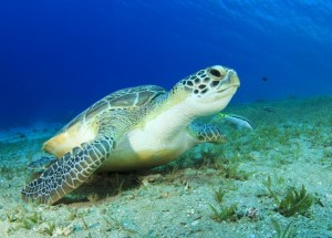 Turtle Species Are Essential For Ecosystems Worldwide, But They Are Going Extinct