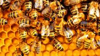 The First Ever Insect Vaccine Could Save the Bees