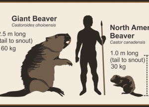 Would you like to know the life of a giant human-sized beavers?