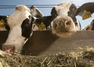 Cows Might Help Fighting Climate Change
