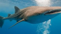 Sharks Can Use a 'GPS', Defying All Expectations