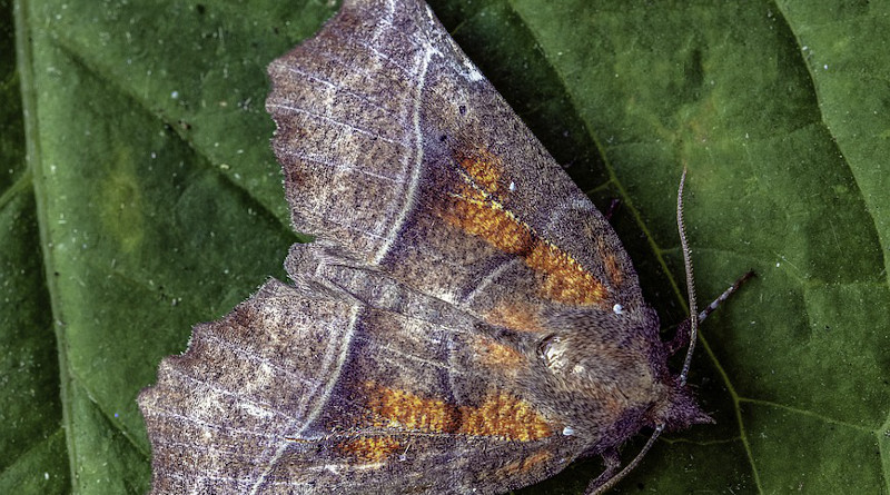 Moths Seem to Play a Previously Unknown Role as Pollinators