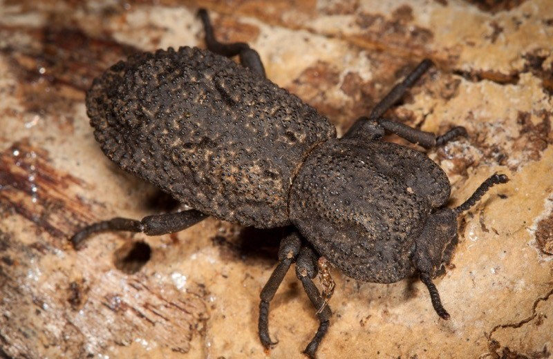 Scientists Learned The Mystery Of The Indestructible Ironclad Beetle!
