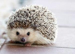 How the 'Hedgehog Highway' Encourages Wildlife