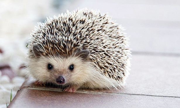 How the 'Hedgehog Highway' Encourages Wildlife