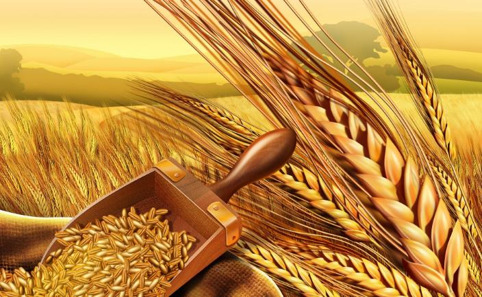 فوائد حبوب جنين القمح للجسم