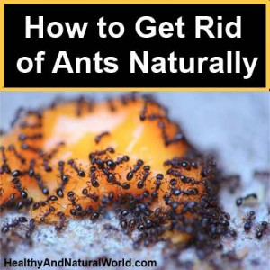 How to get rid of ants all over the house