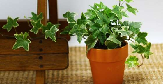 Types Of Ivy Different Types Of Ivy Plants For Outdoors