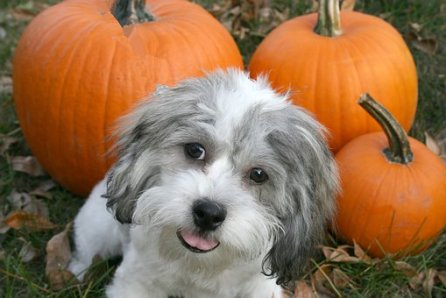 feed pumpkin to your pet